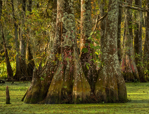 trees usa tree nature forest landscape louisiana bayou swamp spanishmoss wetlands cypress lichen thesouth deepsouth lakemartin breauxbridge