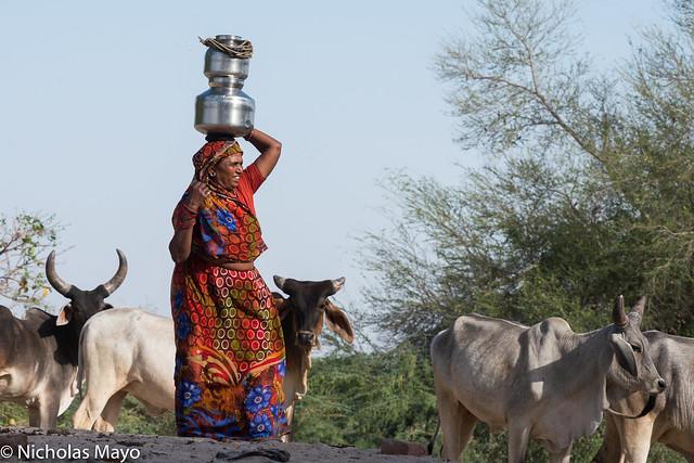Woman & Cows