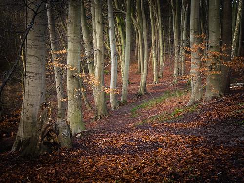 autumn baum beech blätter buche fall forest laub leaves mzuiko1250mm natur nature olympusem5 tree wald winter wood