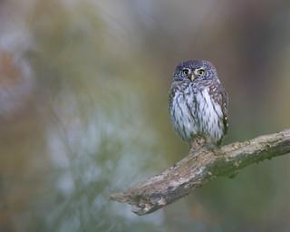 Eurasian Pygmy Owl (Glaucidium passerinum) | by mattias.bjorkman
