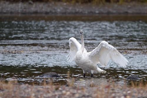 Trumpeter Swan | by rwleslie58