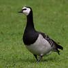 Barnacle goose [eng], Vitkindad gås [swe], Branta leucopsis [latin] by Soleiluk