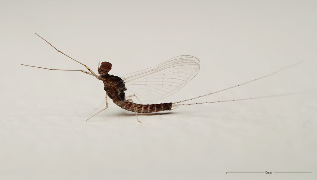 """Male Mayfly With Specialized """"female Tracking Eyes"""""""