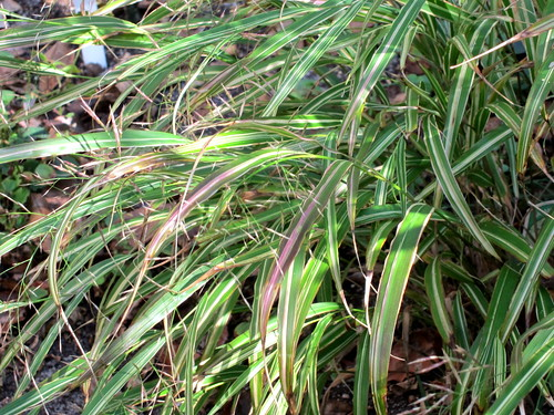 Hakonechloa macra 'Albo-Striata', a very nice older cultivar, taller and more open than 'Aureola', pink tints develop in the fall 111017 | by cultivar413