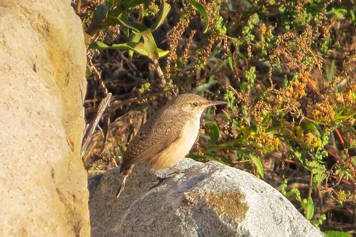 bird salipinctesobsoletus