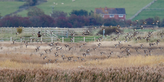 Wigeons and a marsh harrier