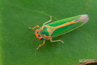 Leafhopper (Kolla sp.) - DSC_3076