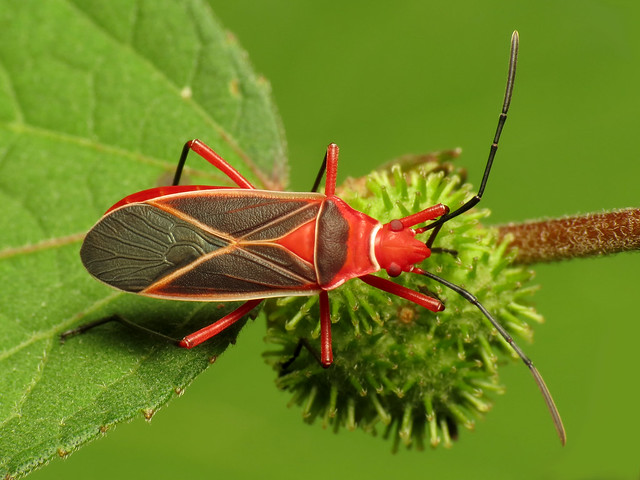 Cotton Stainer