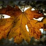 Leaf Dream