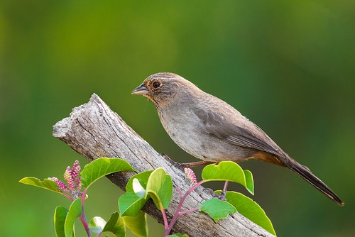 California Towhee | by RawComposition