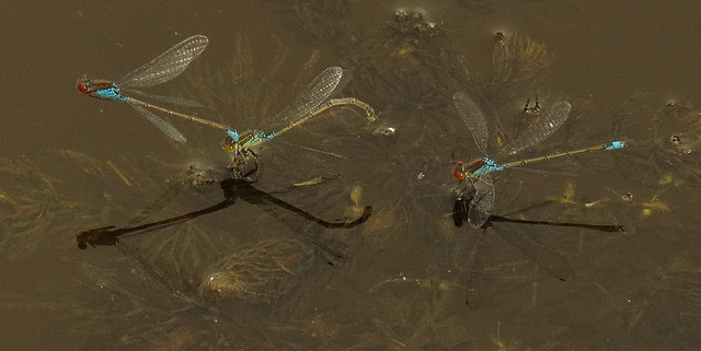 Red-eyed Damselflies ( Small ) Breeding, Laying Eggs and Spectating, Rainham Marshes K__35206