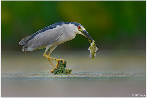 Black-crowned Night-Heron | by BN Singh