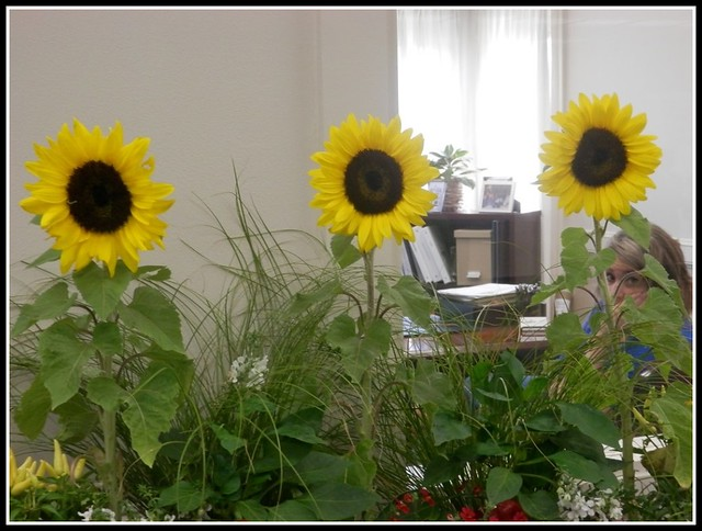 Three Sunflowers At Lowell 5 Bank - Photo by STEVEN CHATEAUNEUF - August 21, 2015