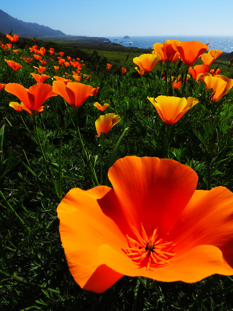 California poppies in Big Sur, California, USA