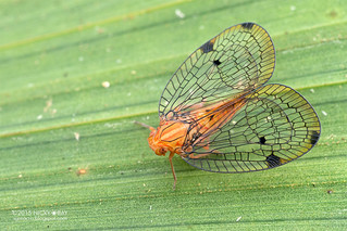 Net-winged planthopper (Nogodinidae) - DSC_2689