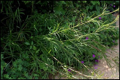 Sanguisorba tenuifolia - sanguisorbe à feuilles étroites  22482126942_4910b7943a