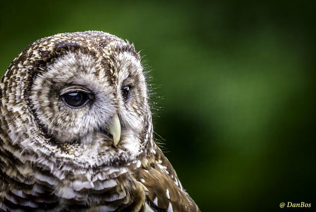 Spectacular Owl under the rain