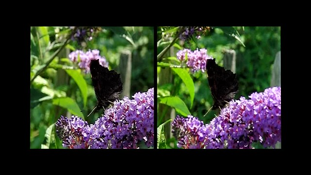 Peacock Butterfly and Bee - 3d cross-view