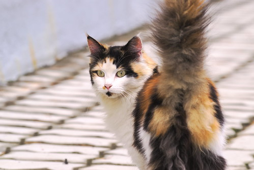 Countryside calico cat | by 雷太