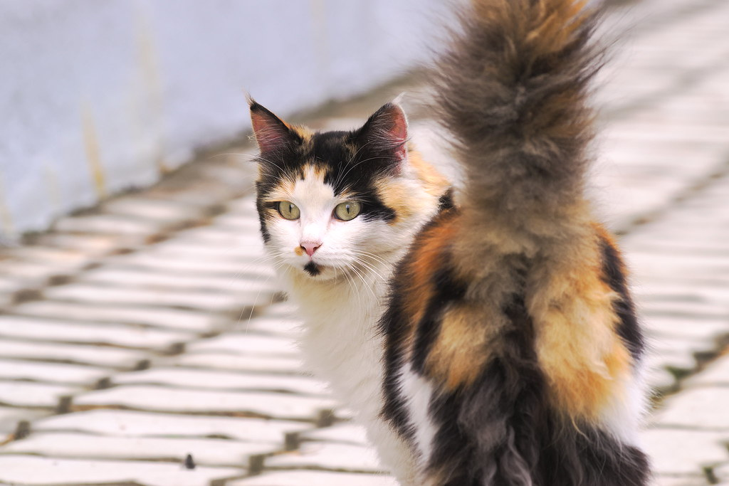 Countryside calico cat