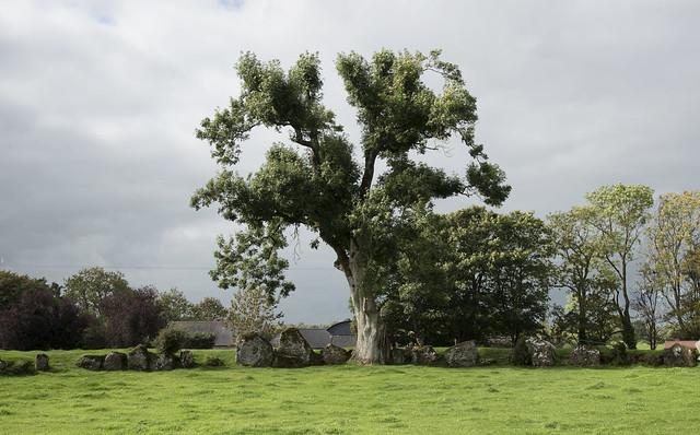 Old Stone Circle Oak
