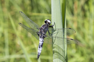 Scarce Chaser | by RuudVisser