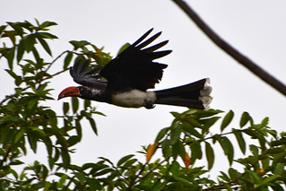 Flying Crowned hornbill | by supersky77