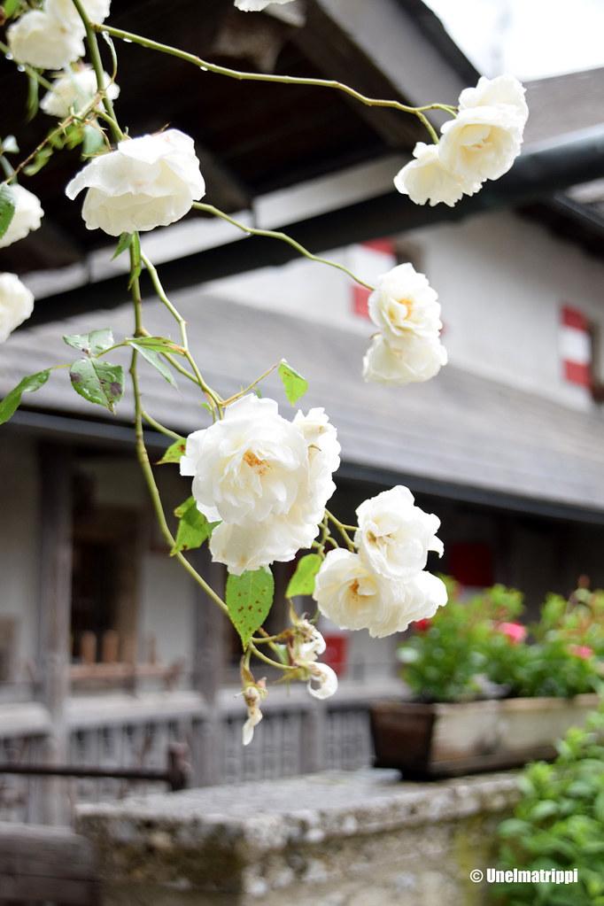 Kukkivia ruusuja Hohenwerfenin pihalla