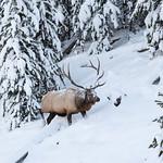 Bull elk by Obsidian Creek in snow