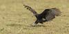 Lesser Yellow-headed Vulture (immature) by tickspics 