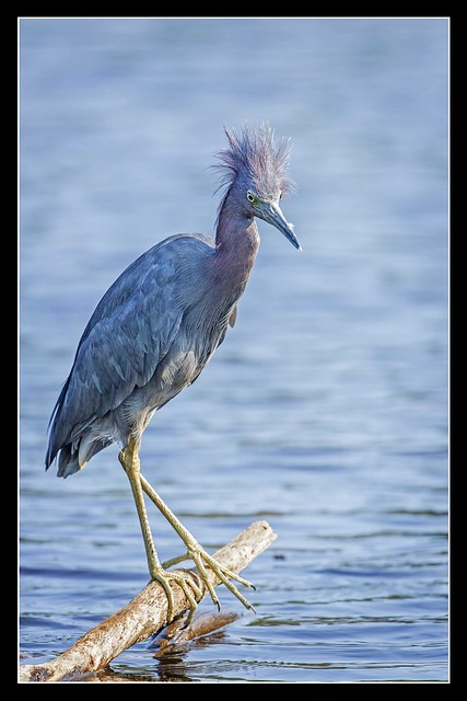 Don King of the Heron World...