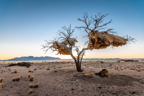 africa park sunset tree nature birds landscape zonsondergang branch desert wildlife branches vogels structure boom afrika weaver needles namibia landschap nests namib namibie sociable naukluft wildlfe