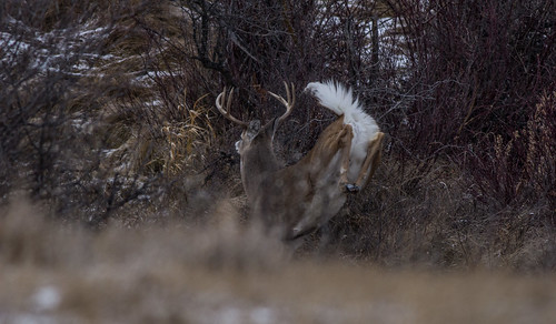 Young whitetail buck running away