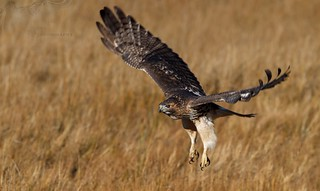 Red Tail Hawk 11_17 4 | by krisinct- Thanks for 15 Million views!