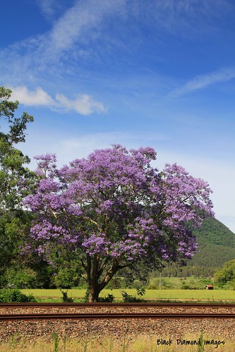 plant flower tree outdoor australia nsw jacaranda railwayline bignoniaceae jacarandamimosifolia midnorthcoast mtgeorge manningvalley northcoastrailwayline purplefp uppermanningvalley nowendocrd