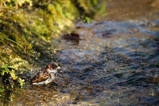 Sparrow taking a bath | by ninfaj