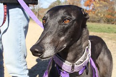 Greyhound Adventures at Maudslay State Park, Newburyport MA, Nov 13th 2016