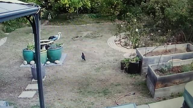 PC114066 crows getting nuts on birdbath via security camera