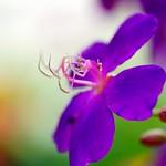 しこんのぼたん(紫紺野牡丹)/Tibouchina urvilleana