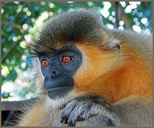 Monkey in Sitesh zoo, Maulvi Bazar, Bangladesh