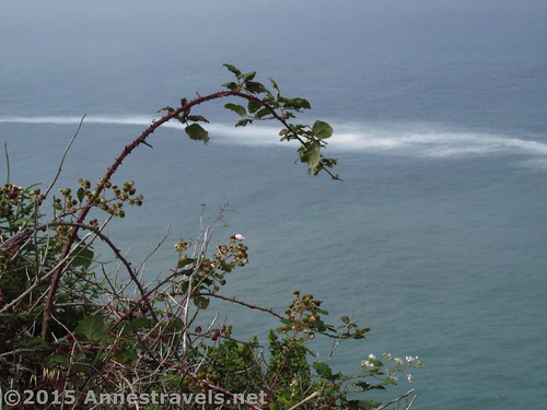 Blackberry plants by the Pacific Ocean in Redwood National Park, California