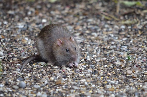 Brown Rat | by markhows