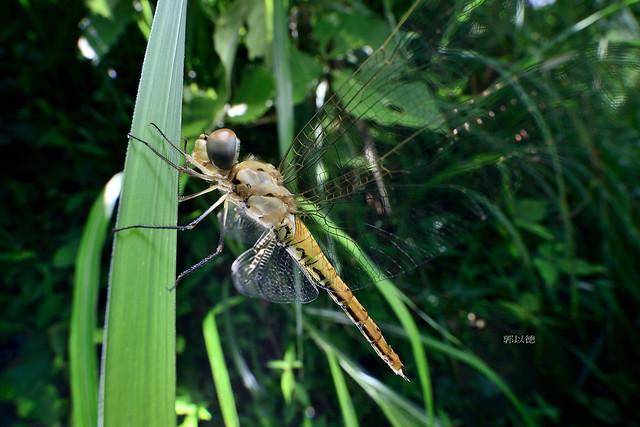 _OCT0469薄翅蜻蜓Pantala flavescens