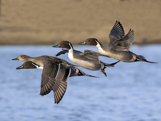 Pintail - Anas acuta | by normanwest4tography