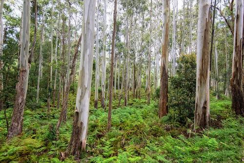 trees forest landscape gums queensland ferns eucalypts gumtrees mainrangenationalpark nikond800 nikon160350mmf40