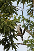 Slaty-backed Forest Falcon (Micrastur mirandollei) by Ron Winkler nature