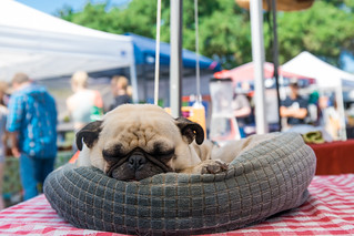 Sleeping Pug at Castle Hills Farmer's Market | by nan palmero