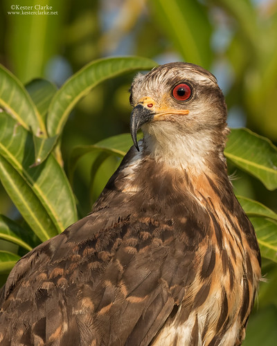 Snail Kite portrait | by Kester Clarke