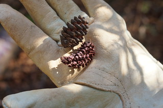 Cones in hand | by USFWS/Southeast
