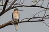 Shikra (Accipiter badius) by Ron Winkler nature